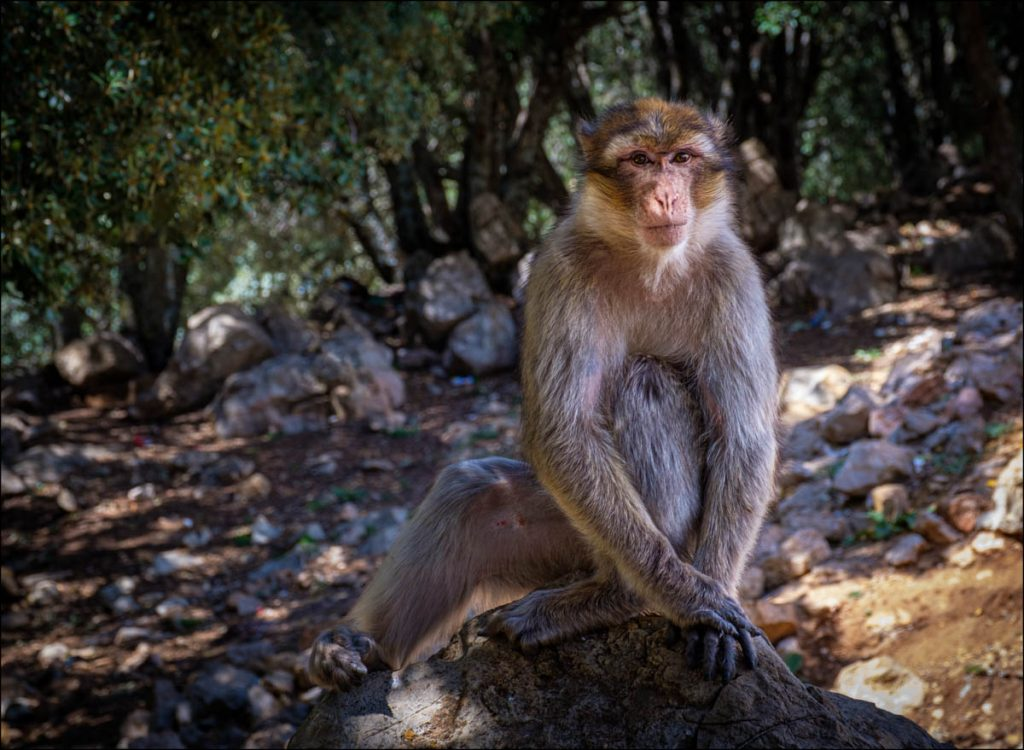 high atlas berbery macaque