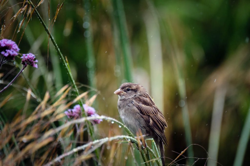 house sparrow in the rain