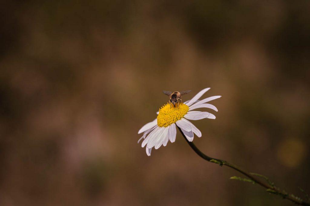 hover fly on a daisy