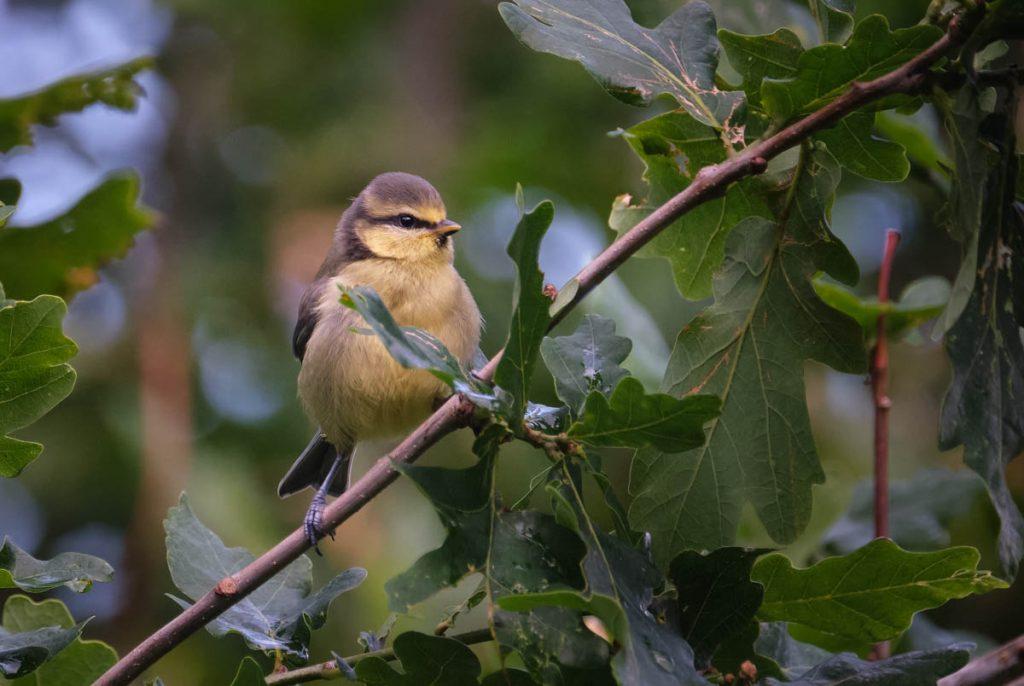 juvenile blue tit in an oak tree