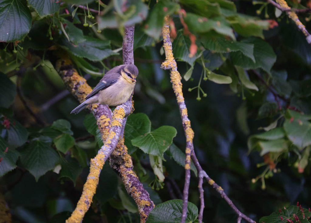 juvenile blue tit on a branch