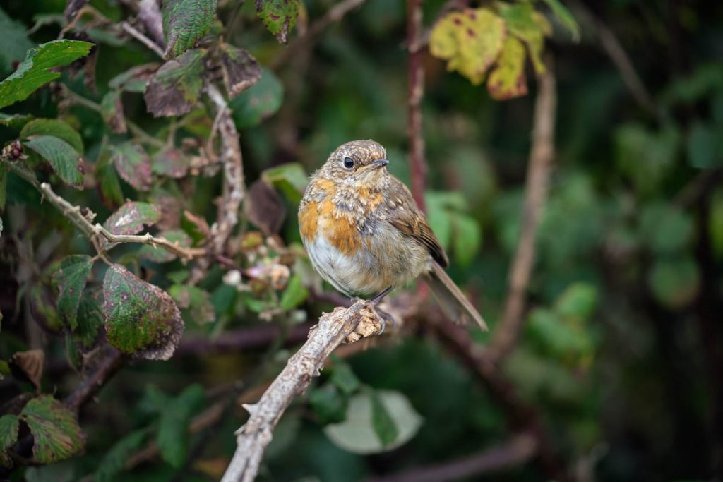 juvenile robin  on a bramble