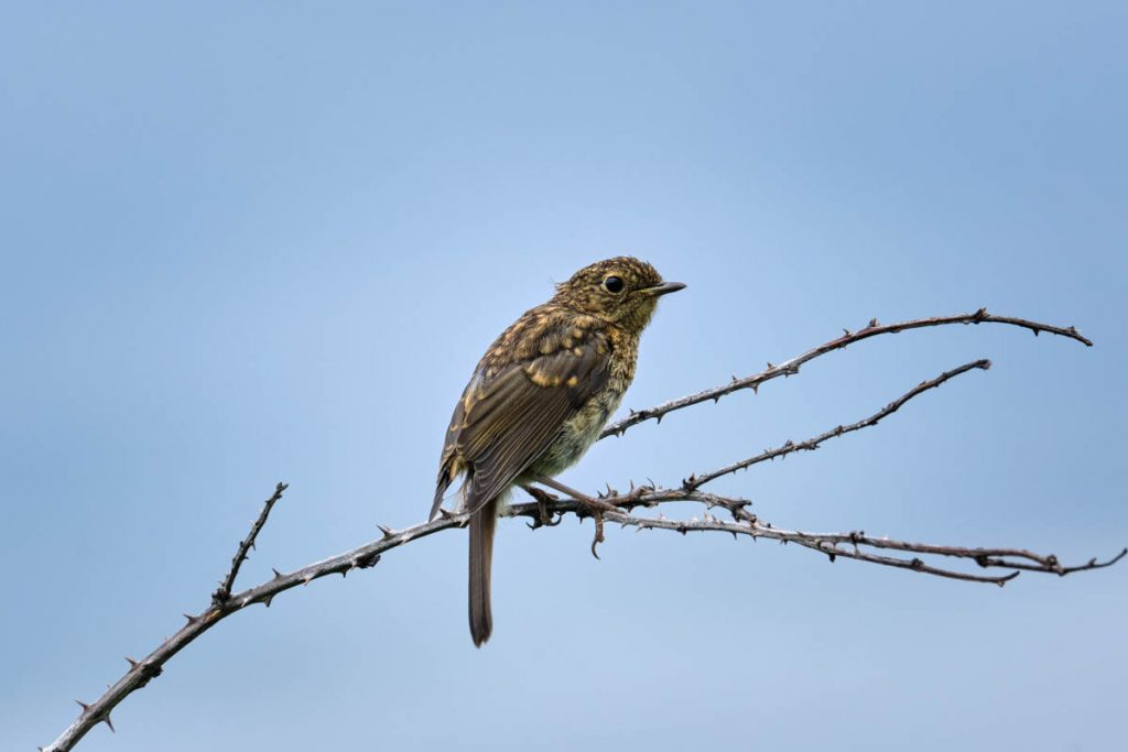 juvenile robin on a thorny branch