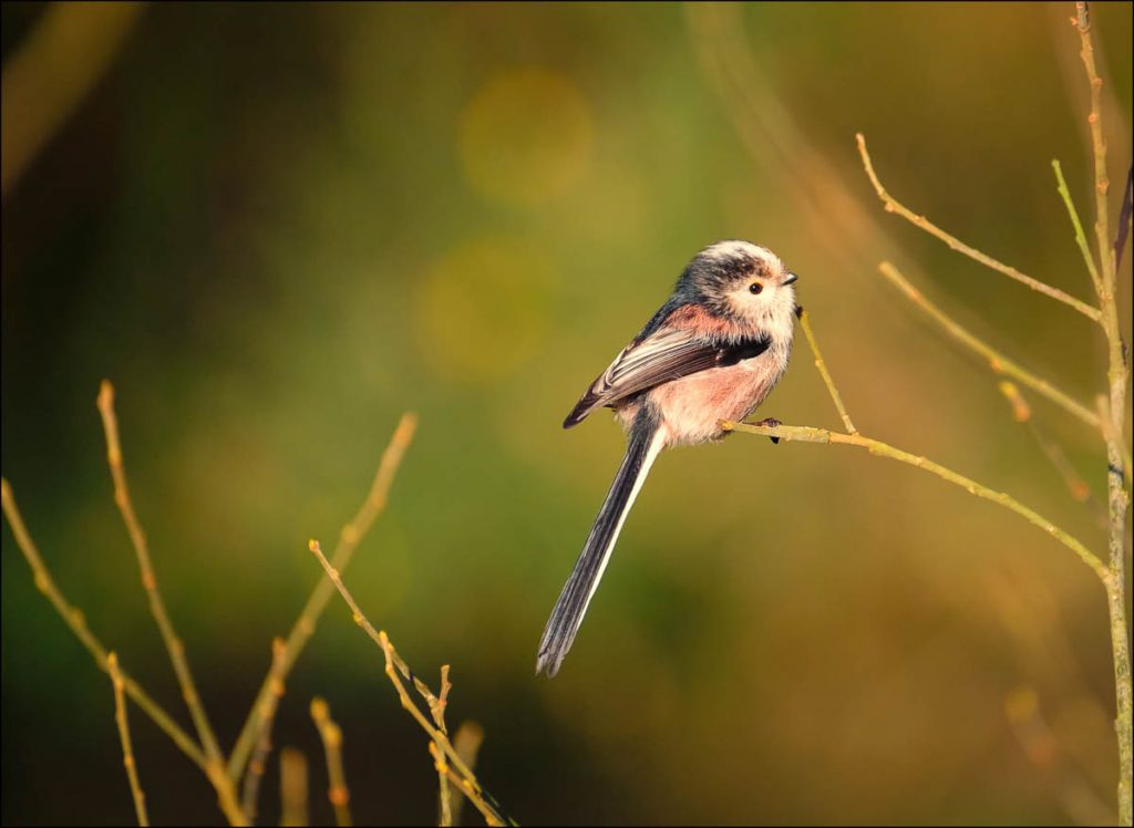 Long tailed tit in evening sun