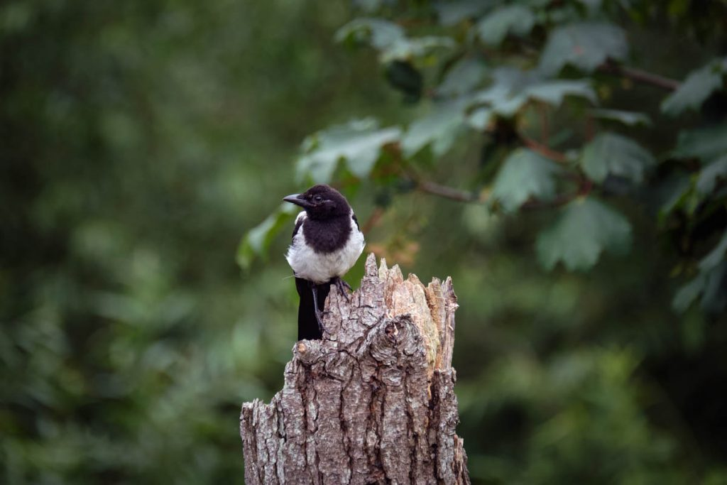 magpie on guard