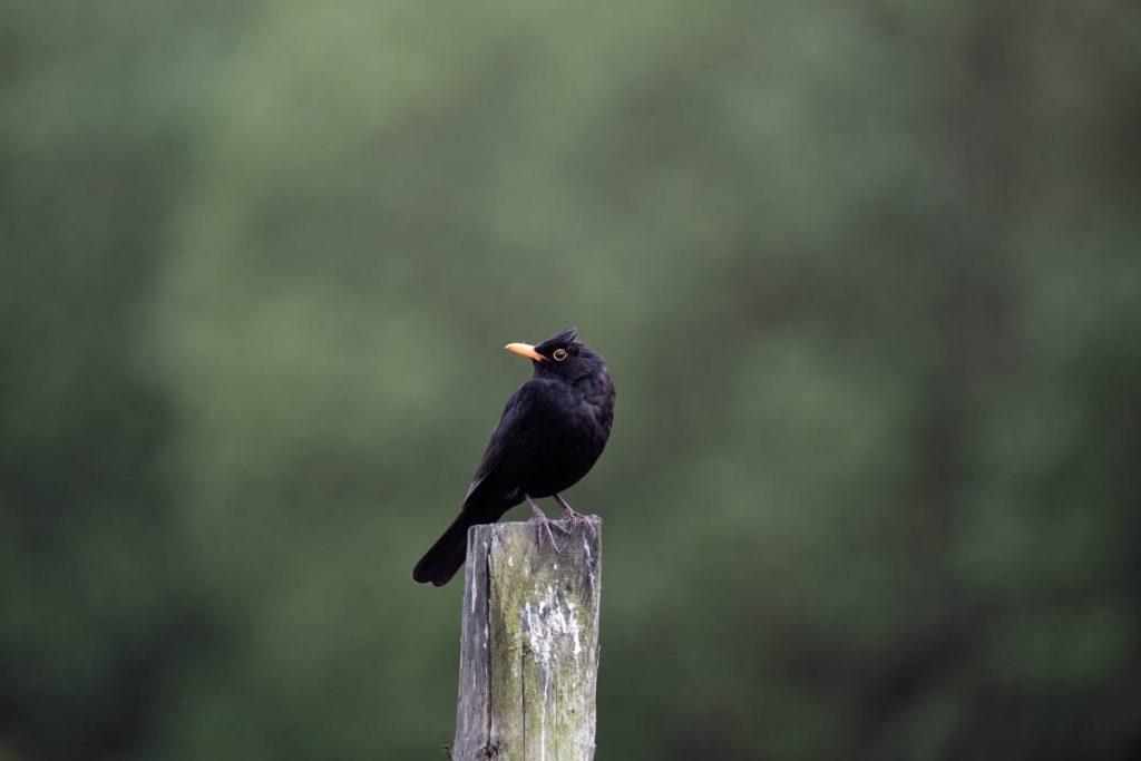 male blackbird on a post