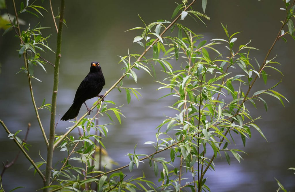 male blackbird perching.jpg