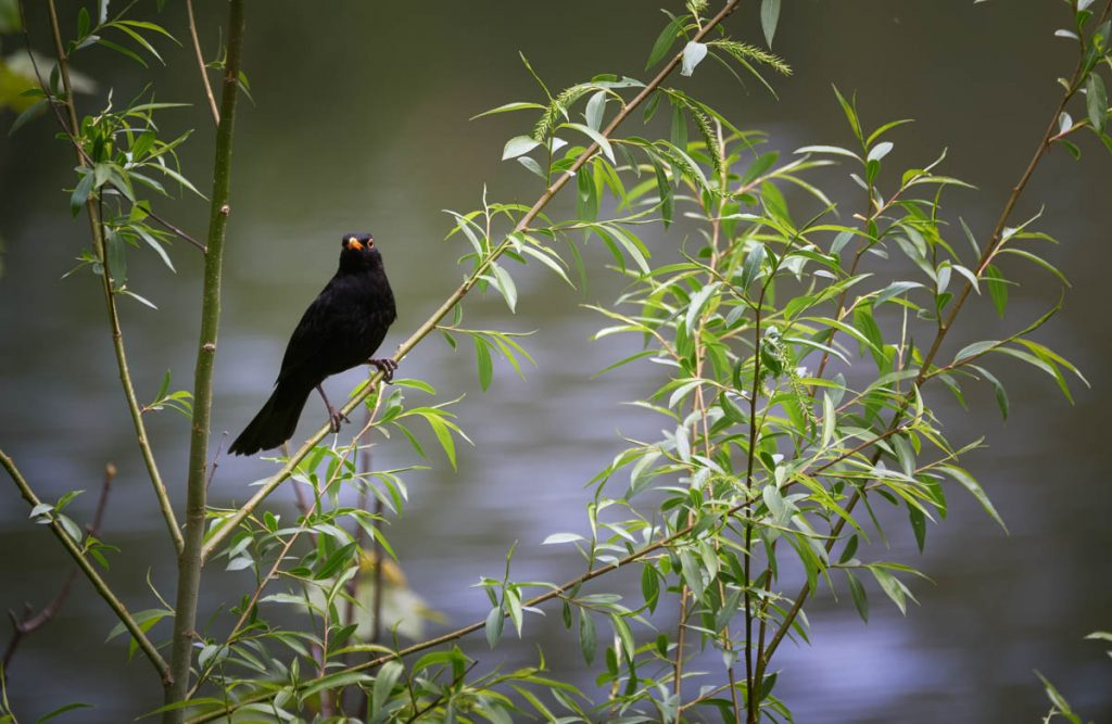 male blackbird perching