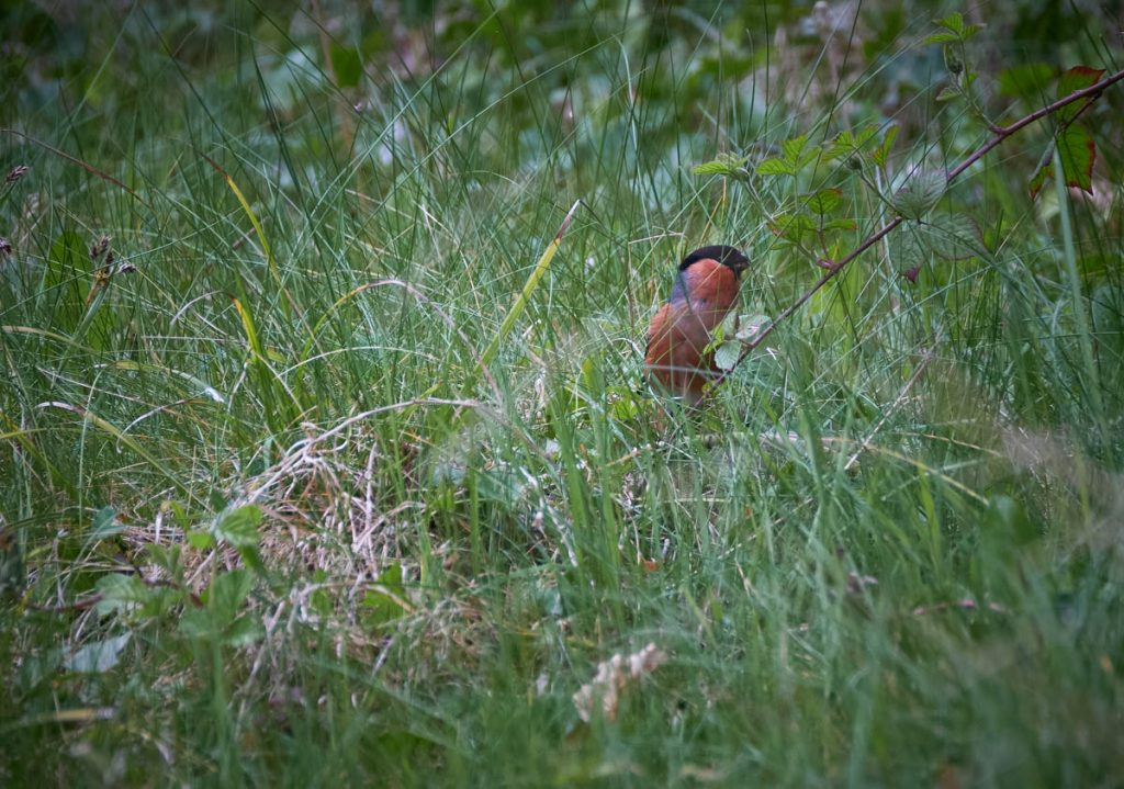 male bullfinch in the grass