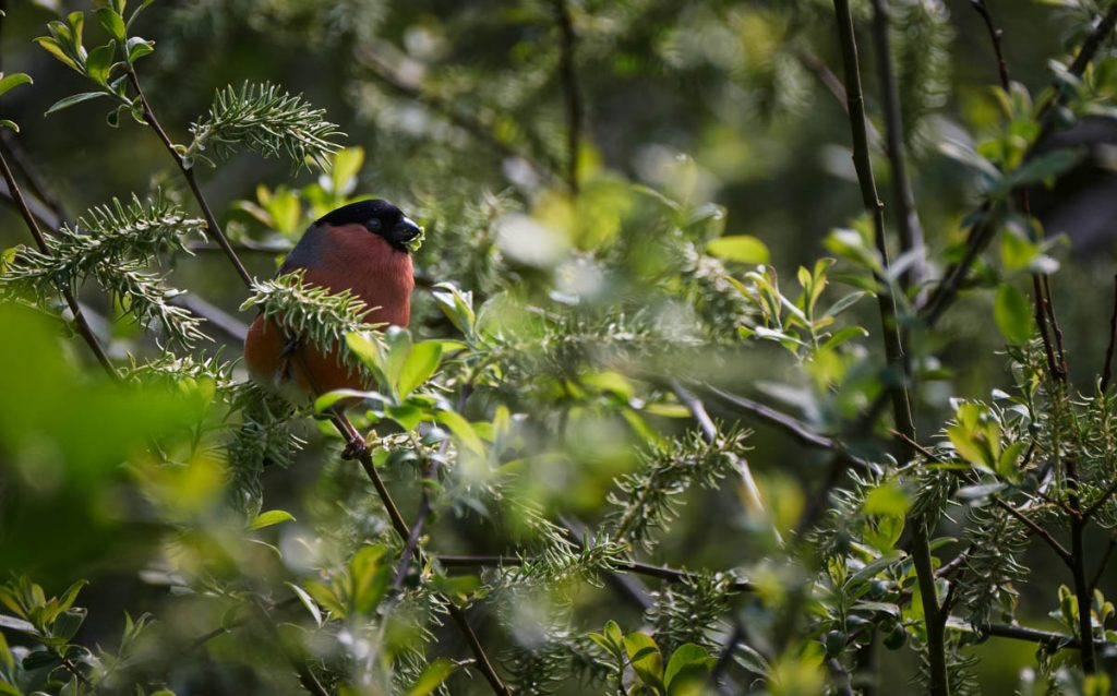 male bullfinch on guard
