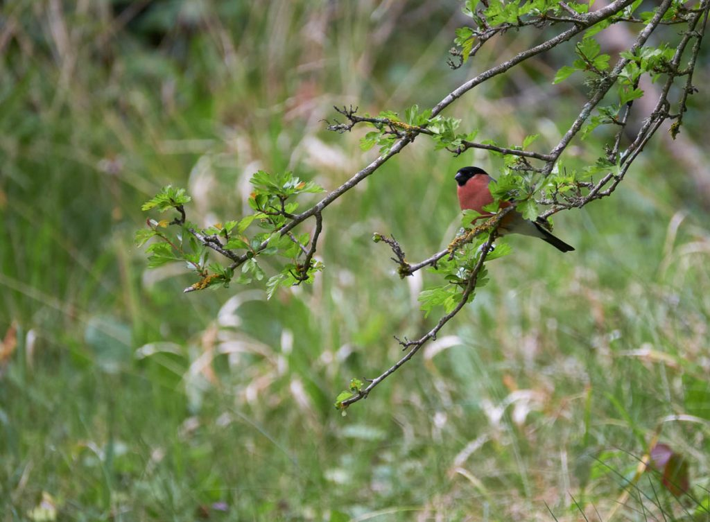 male bullfinch perching in a tree.jpg