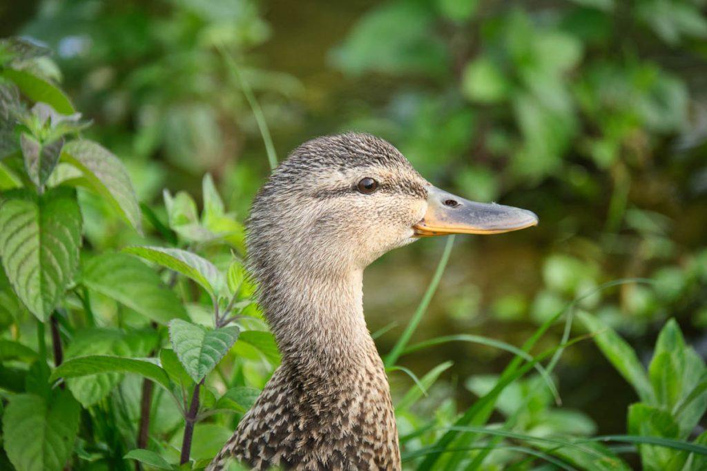 mallard duck.jpg