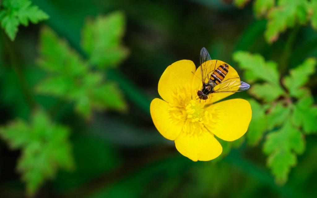 marmalade hover fly