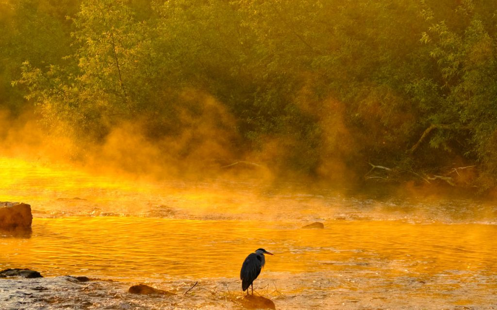 Heron - old man of the river in the morning mist