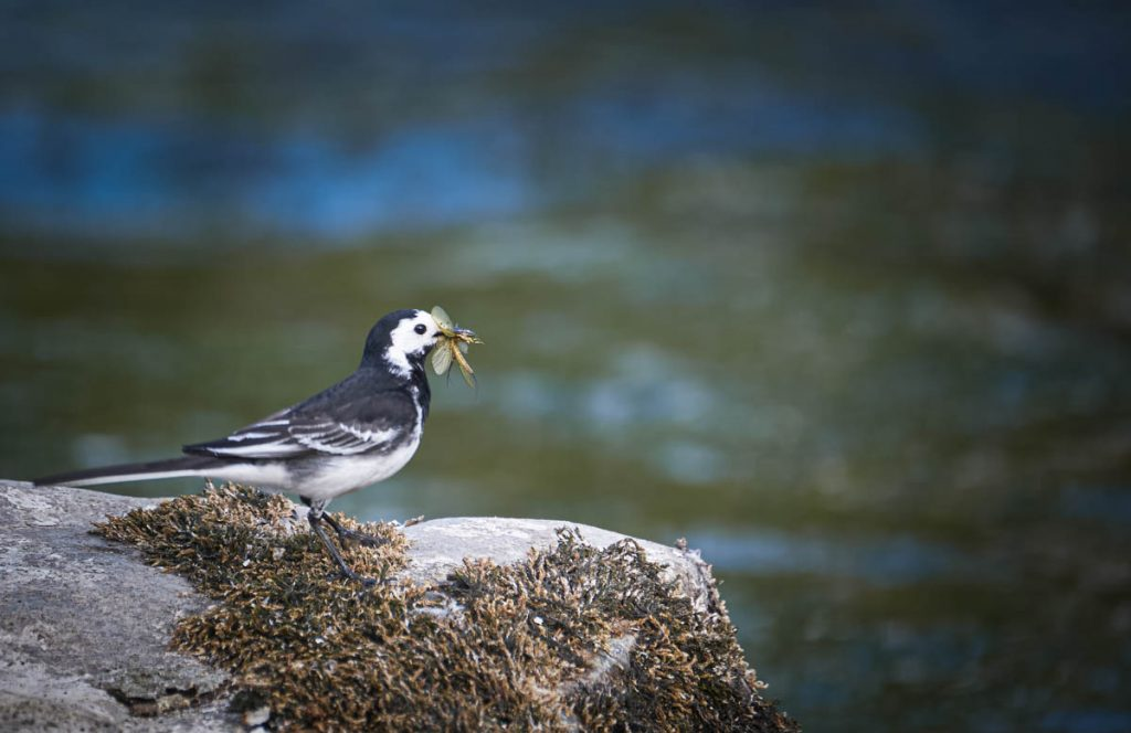 pied wagtail with insects