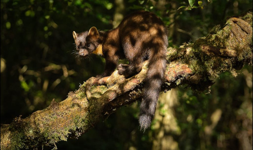 pine martin in the forest