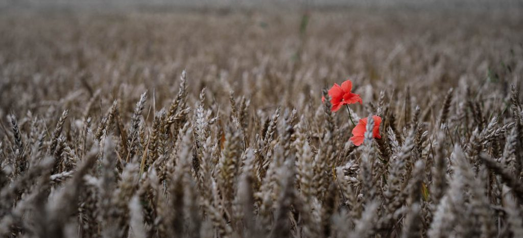 Red poppies in ready to harvest wheat.