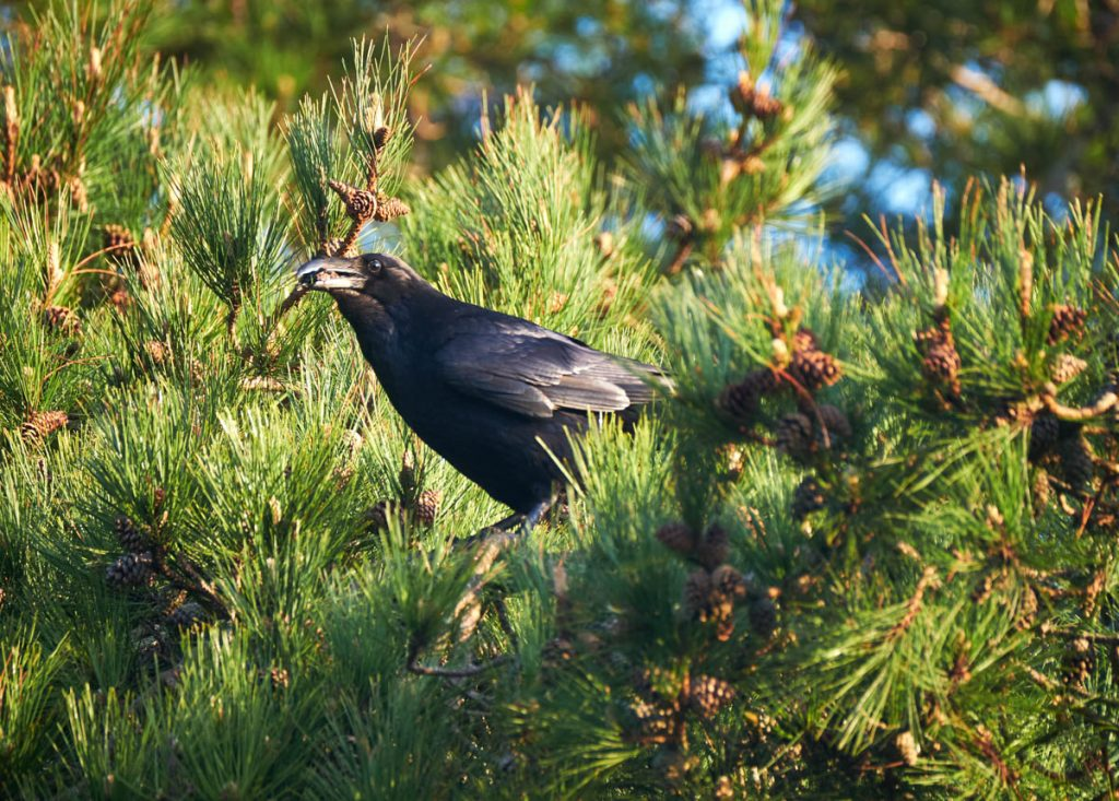 raven in a pine tree
