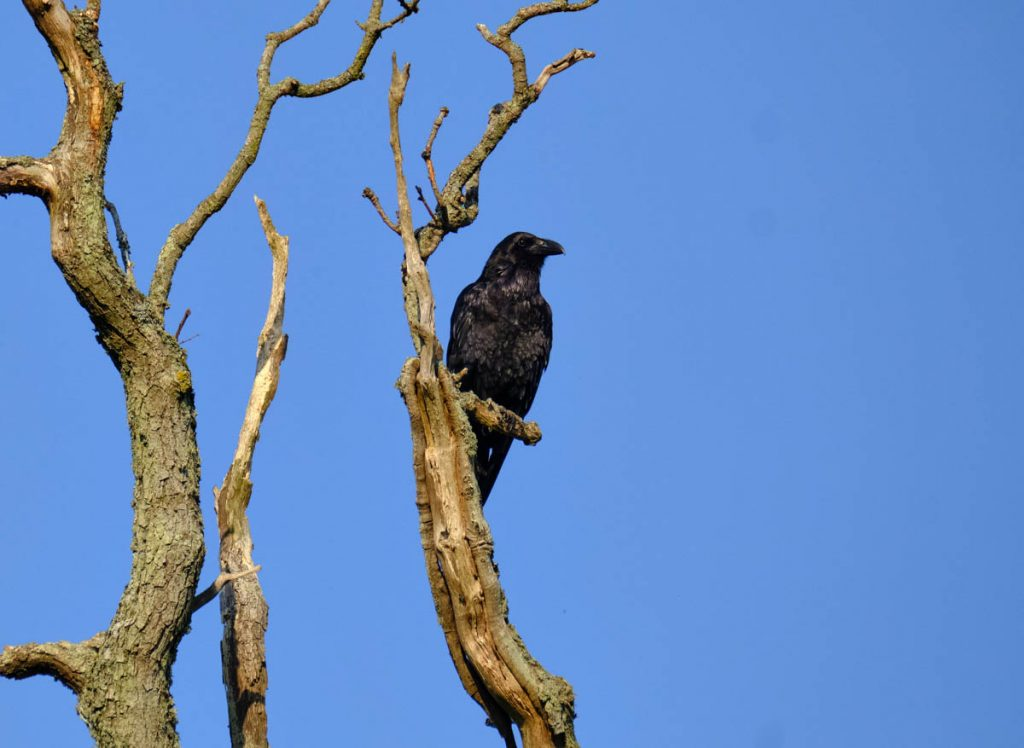 raven on a tree against a blue sky