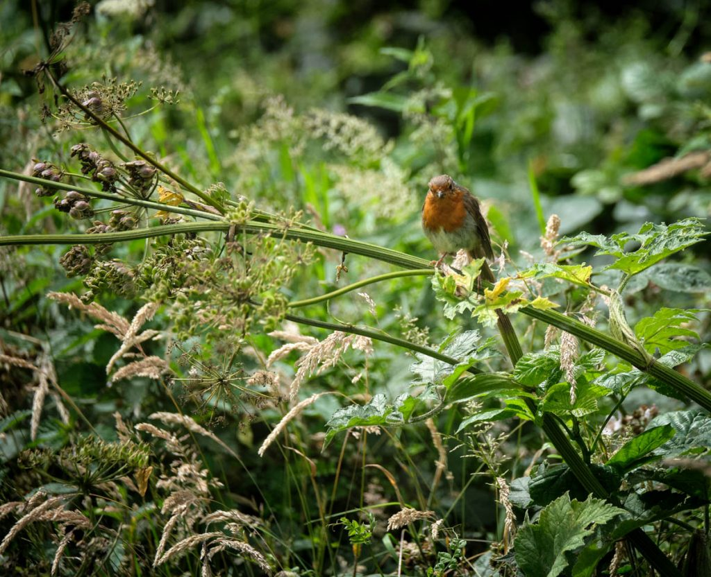 robin in greenery