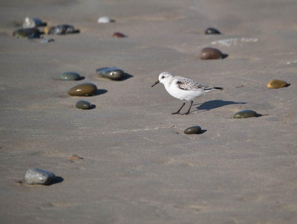 Sanderling on sand