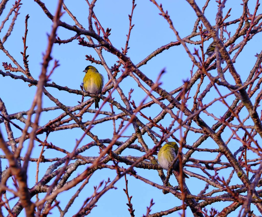 siskins in a tree