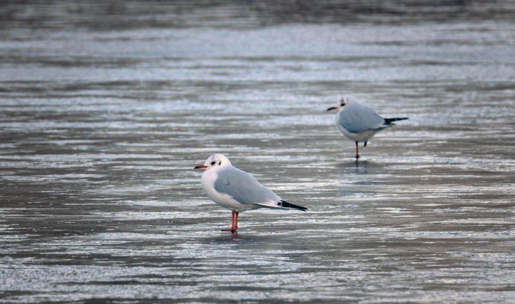 Black headed gull standing on ice