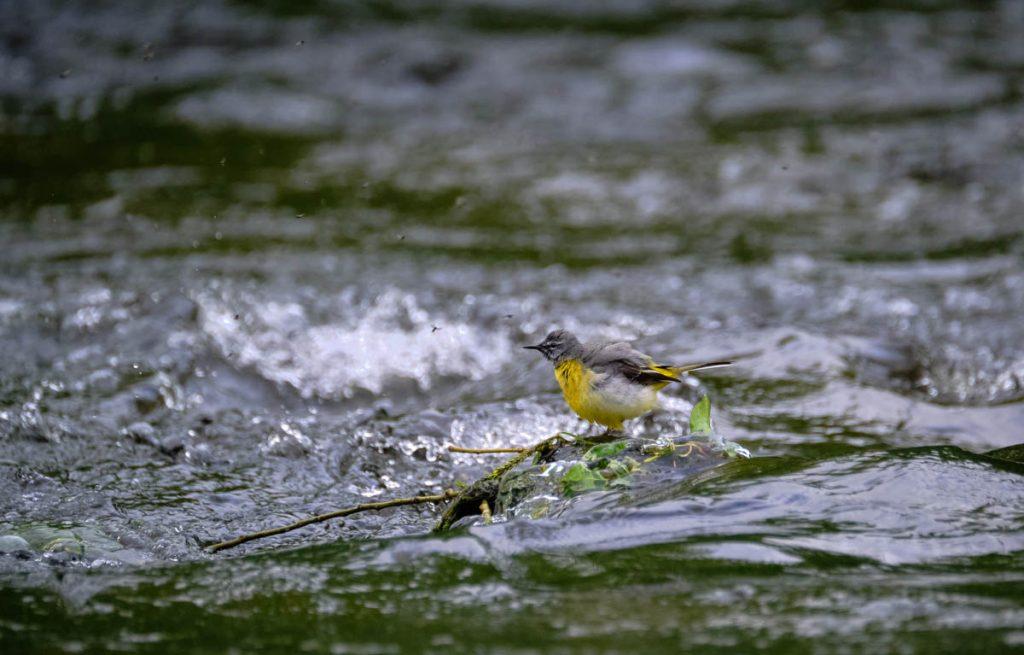 yellow wagtail hunting