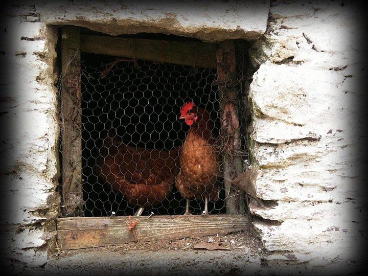 chicken-prison