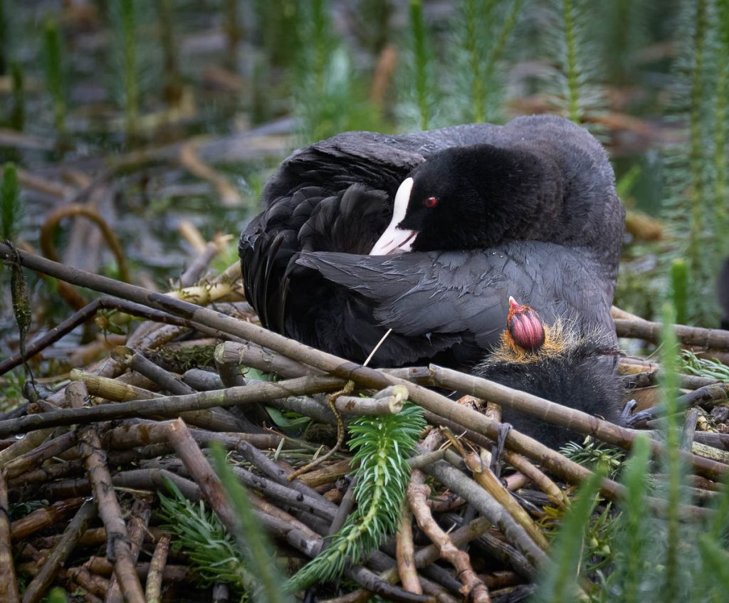 coot and chick
