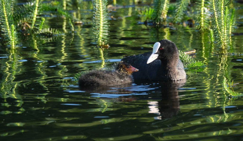 coot and chick on the water