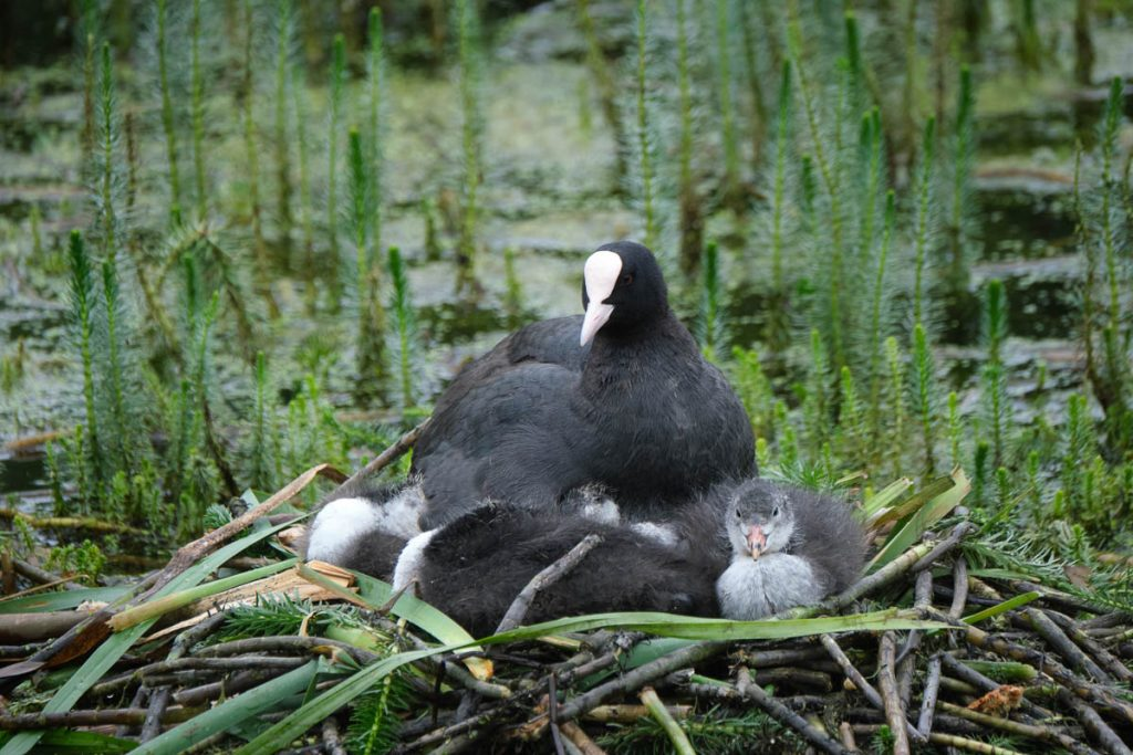 coot with chicks