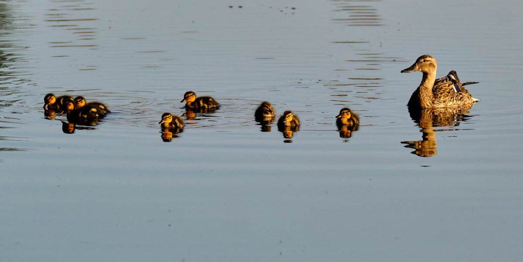 The duck family brood