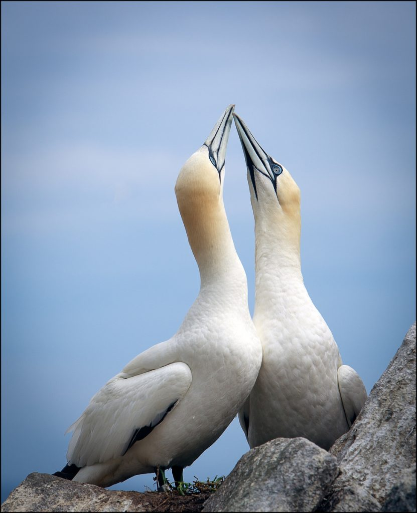Gannet lovers