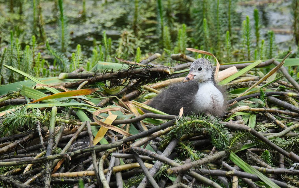 single coot chick