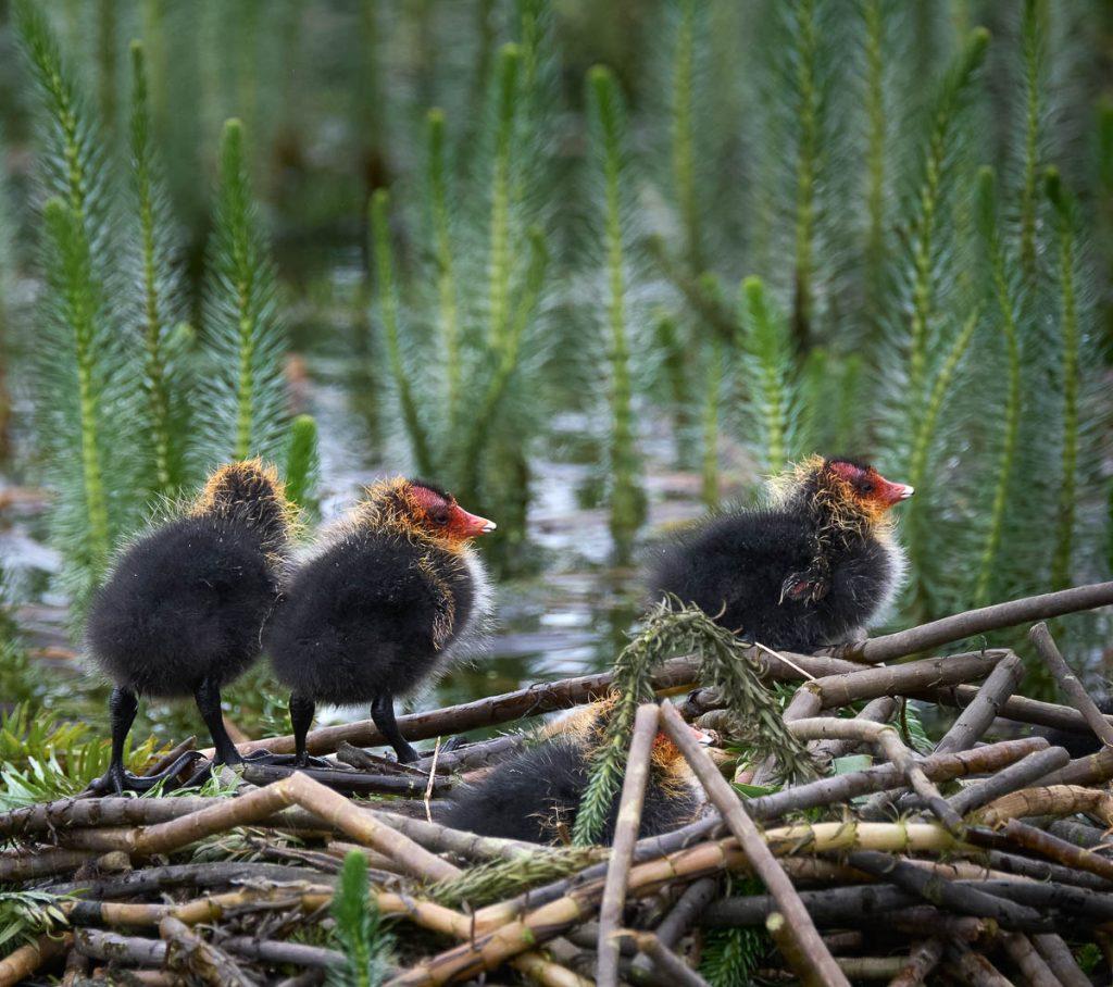 three coot chicks