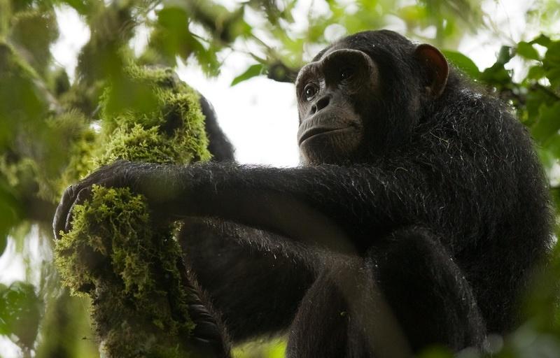Wild  juvenile Chimpansee