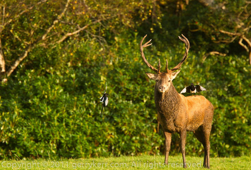 Killarney Deer Rut 2011